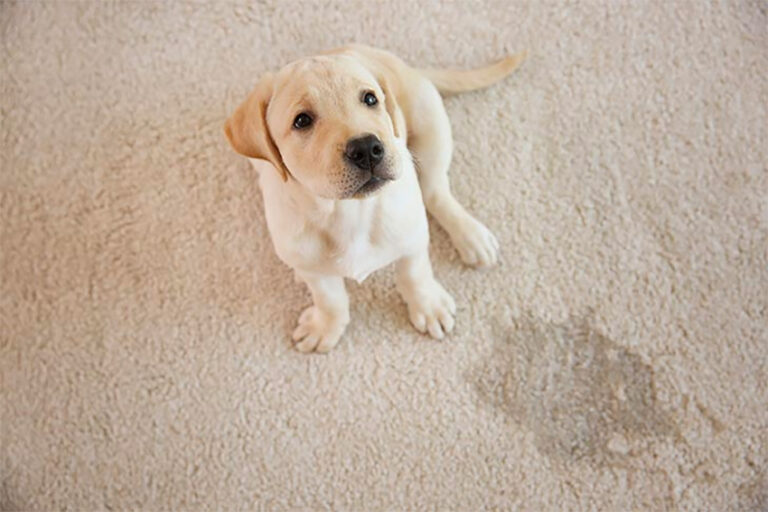 carpet cleaning for dog and cat wee